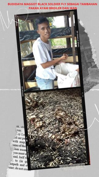 Budidaya Maggot Black Soldier Fly Sebagai Tambahan Pakan Ayam Broiler dan Ikan
