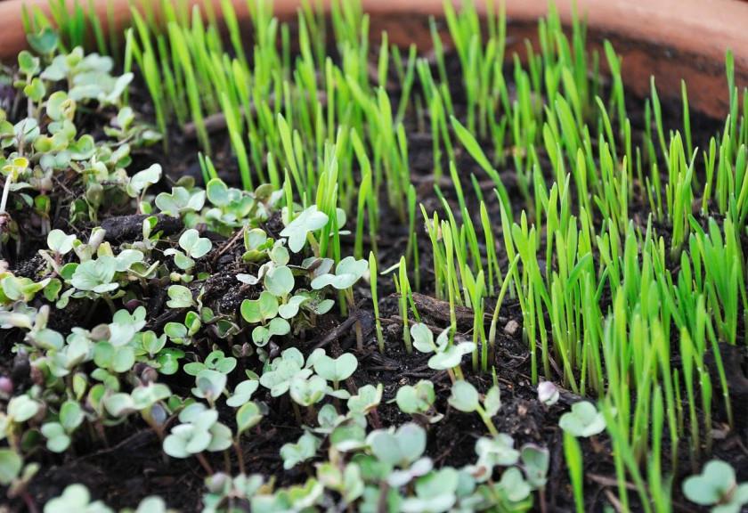Si Mungil Microgreens Penopang Pertanian Saat di Rumah Saja
